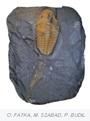 Trilobit Agraulos ceticephalus se stopou